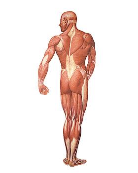 Die Muskulatur des Menschen, Rückseite, Wandkarte 84 x 200cm, mit Holzbestäbung, 3B Scientific, medishop.de