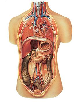 Innere Organe, Wandkarte 84 x 118cm, ohne Holzbestäbung, 3B Scientific, medishop.de
