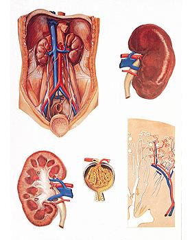 Die Niere, Wandkarte 84 x 118cm, ohne Holzbestäbung, 3B Scientific, medishop.de