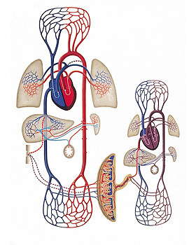Mütterlicher und fetaler Blutkreislauf, Wandkarte 84 x 118cm, ohne Holzbestäbung, 3B Scientific, medishop.de