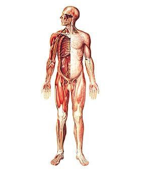Das Nervensystem, Vorderseite, Wandkarte 84 x 176cm, ohne Holzbestäbung, 3B Scientific, medishop.de