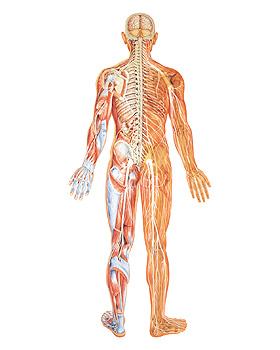 Das Nervensystem, Rückseite, Wandkarte 84 x 176cm, mit Holzbestäbung, 3B Scientific, medishop.de