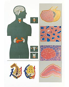 Die endokrinen Drüsen, Wandkarte 84 x 118cm, ohne Holzbestäbung, 3B Scientific, medishop.de