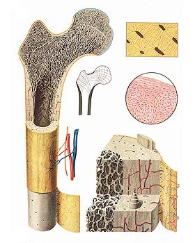 Der Bau des Knochens, Wandkarte 84 x 118cm, mit Holzbestäbung, 3B Scientific, medishop.de