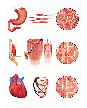 Das Muskelgewebe, Wandkarte 84 x 118cm, ohne Holzbestäbung, 3B Scientific, medishop.de