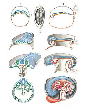 Embryologie II, Wandkarte 84 x 118cm, ohne Holzbestäbung, 3B Scientific, medishop.de