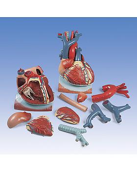 Herz auf Zwerchfell, 3-fache Größe, 10-teilig, 3B Scientific, medishop.de