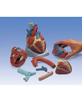 Herz eines Erwachsenen, 7-teilig, 3B Scientific, medishop.de