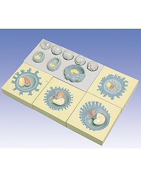 Keimesentwicklung in 12 Stadien, 3B Scientific, medishop.de