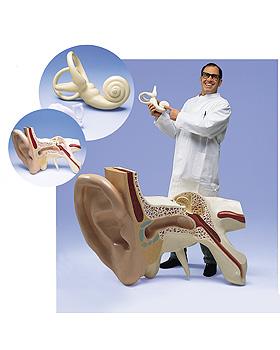Das größte Ohr der Welt, 15-fache Größe, 3-teilig, 3B Scientific, medishop.de