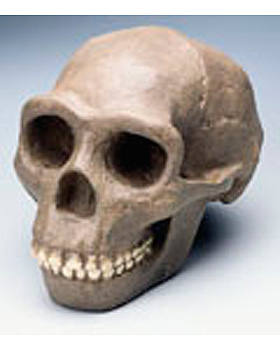 Anthropologischer Schädel - Sinanthropus, 3B Scientific, medishop.de