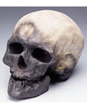 Anthropologischer Schädel - Cro Magnon, 3B Scientific, medishop.de