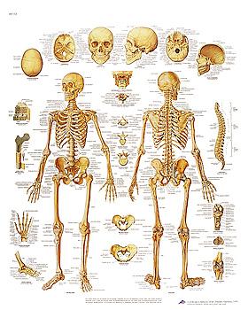 Das menschliche Skelett, Lehrtafel 50 x 67cm, 3B Scientific, medishop.de