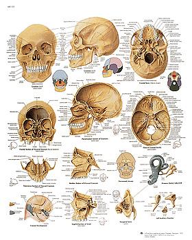 Der menschliche Schädel, Lehrtafel 50 x 67cm, 3B Scientific, medishop.de
