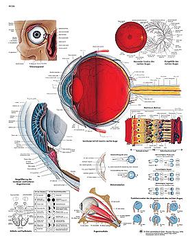 Das menschliche Auge, Lehrtafel 50 x 67cm, 3B Scientific, medishop.de