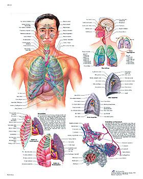 Das Atmungssystem, Lehrtafel 50 x 67cm, 3B Scientific, medishop.de