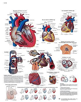 Das menschliche Herz - Anatomie und Physiologie , Lehrtafel 50 x 67cm, 3B Scientific, medishop.de