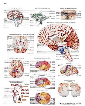 Das menschliche Gehirn, Lehrtafel 50 x 67cm, 3B Scientific, medishop.de