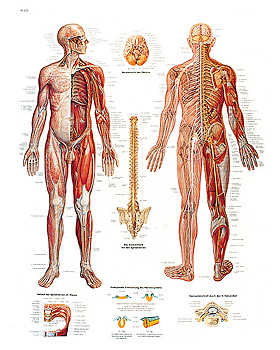 Das Nervensystem, Lehrtafel 50 x 67cm, 3B Scientific, medishop.de