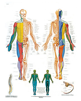 Das periphere Nervensystem, Lehrtafel 50 x 67cm, 3B Scientific, medishop.de