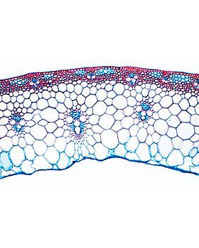 Blütenpflanzen IV. Stamm, 20 Stück, 3B Scientific, medishop.de