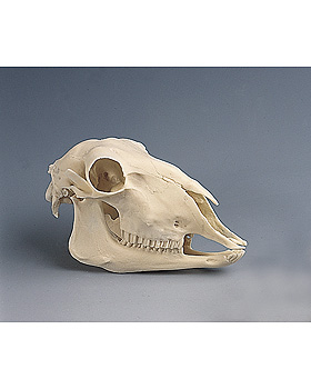 Schafschädel, Naturabguß, 3B Scientific, medishop.de