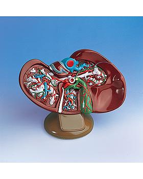 Leber mit Gallenblase, 1,5 fache Größe, 3B Scientific, medishop.de