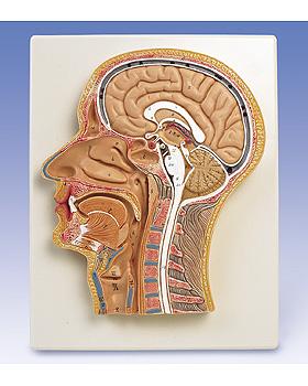 Medianschnitt des Kopfes, 3B Scientific, medishop.de