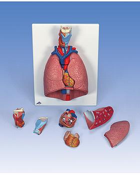 Lunge mit Kehlkopf, 7-teilig, 3B Scientific, medishop.de
