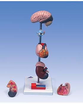 Bluthochdruckmodell, 3B Scientific, medishop.de