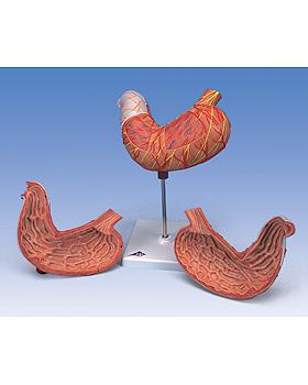 Magen, 2-teilig, 3B Scientific, medishop.de