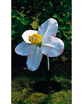Apfelblüte (Malus pumila), 3B Scientific, medishop.de