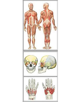 Der Bewegungsapparat des Menschen, 30 Stück, 3B Scientific, medishop.de