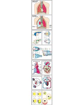 Atmung und Blutkreislauf, 42 Stück, 3B Scientific, medishop.de