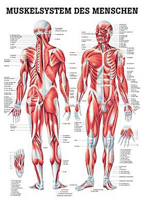 anat. Poster: Männliches Muskelsystem 50 x 70 cm, Papier, Rüdiger Anatomie, medishop.de