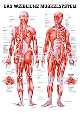 anat. Lehrtafel: Weibliches Muskelsystem 70 x 100 cm, laminiert, Rüdiger Anatomie, medishop.de