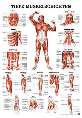 anat. Lehrtafel: Tiefe Muskeln Frontansicht 70 x 100 cm, Papier, Rüdiger Anatomie, medishop.de