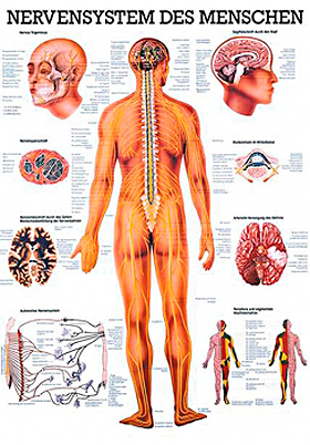anat. Mini-Poster: Nervensystem des Menschen 24 x 34 cm, laminiert, Rüdiger Anatomie, medishop.de