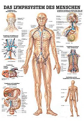 anat. Lehrtafel: Lymphsystem des Menschen 70 x 100 cm, laminiert, Rüdiger Anatomie, medishop.de