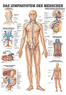 anat. Lehrtafel: Lymphsystem des Menschen 70 x 100 cm, Papier, Rüdiger Anatomie, medishop.de