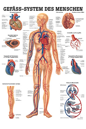 anat. Lehrtafel: Gefäßsystem des Menschen 70 x 100 cm, laminiert, Rüdiger Anatomie, medishop.de