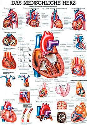 anat. Lehrtafel: Das menschliche Herz 70 x 100 cm, Papier, Rüdiger Anatomie, medishop.de