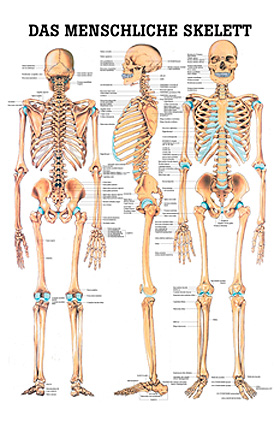 anat. Mini-Poster: Das Skelett 24 x 34 cm, Papier, Rüdiger Anatomie, medishop.de