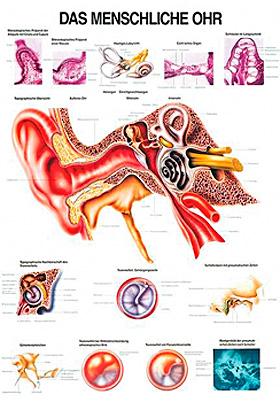 anat. Lehrtafel: Das menschliche Ohr 70 x 100 cm, Papier, Rüdiger Anatomie, medishop.de