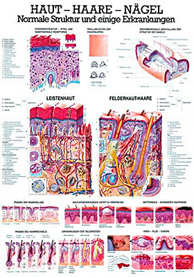 anat. Lehrtafel: Haut - Haare - Nägel 70 x 100 cm, Papier, Rüdiger Anatomie, medishop.de