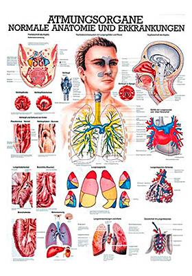 anat. Lehrtafel: Die Atmungsorgane 70 x 100 cm, laminiert, Rüdiger Anatomie, medishop.de