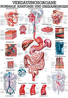 anat. Lehrtafel: Die Verdauungsorgane 70 x 100 cm, Papier, Rüdiger Anatomie, medishop.de