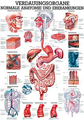 anat. Lehrtafel: Die Verdauungsorgane 70 x 100 cm, laminiert, Rüdiger Anatomie, medishop.de