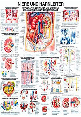 anat. Lehrtafel: Niere und Harnleiter 70 x 100 cm, Papier, Rüdiger Anatomie, medishop.de