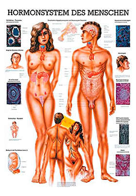 anat. Lehrtafel: Hormonsystem 70 x 100 cm, Papier, Rüdiger Anatomie, medishop.de